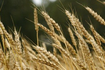 Валовой сбор зерна в Алтайском крае превысил два миллиона тонн