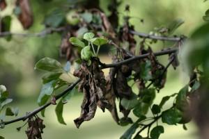 усыхание побегов при бактериальном ожоге плодовых