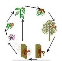 цикл развития бактериального ожога