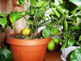 Кому свеженький лимончик