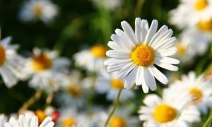 daisies-27611219201